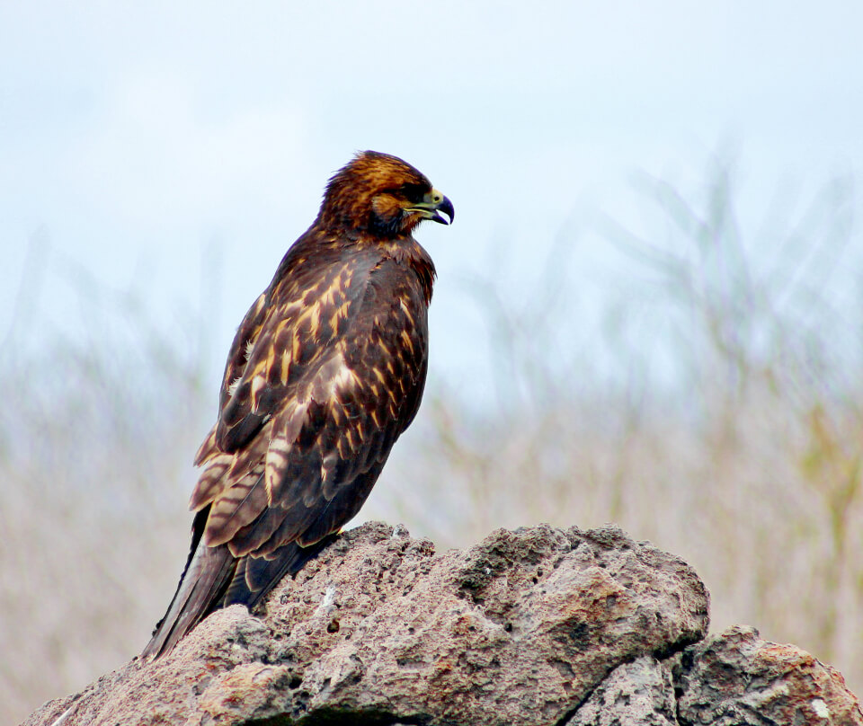 Galapagos Hawk, and iconic specie of the islands.