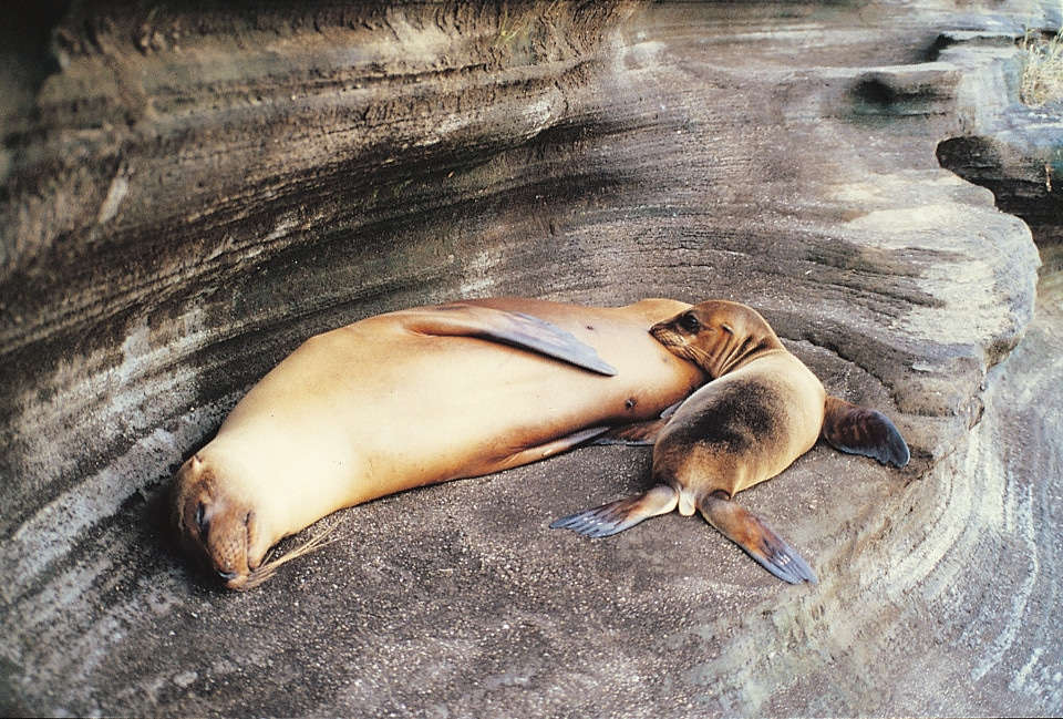 Galapagos sea lion pup and mother resting.