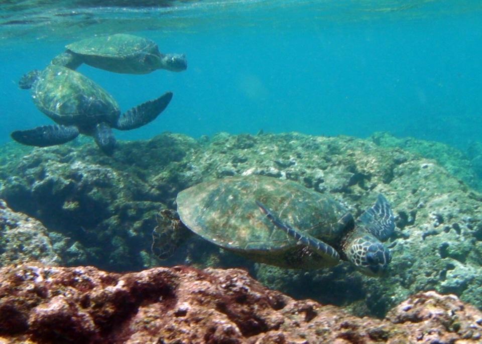 Swimming sea turtle in the Galapagos Islands