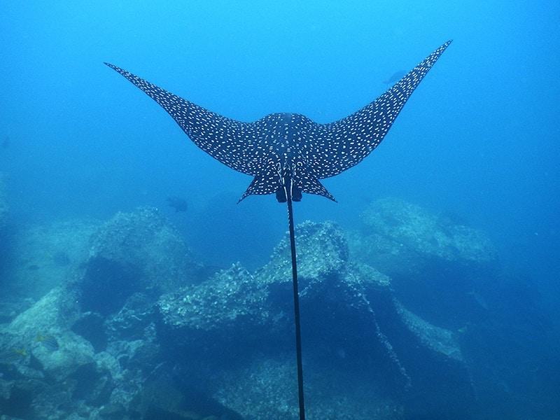 Stingray in Galapagos.