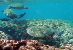 Swimming sea turtle in the Galapagos Islands