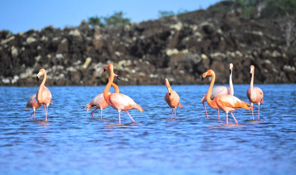 Galapagos american flamingos.