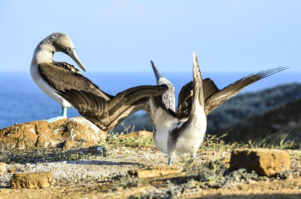 Boobies Galapagos courtship display.