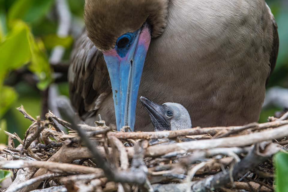 Red-footed boobie with her nestling.