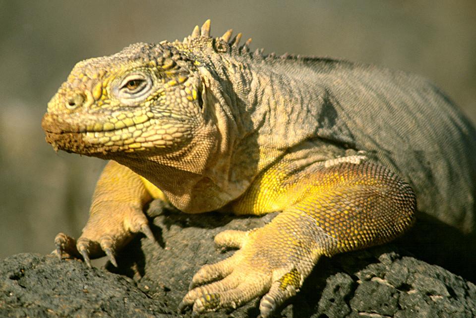 Galapagos land iguana resting.