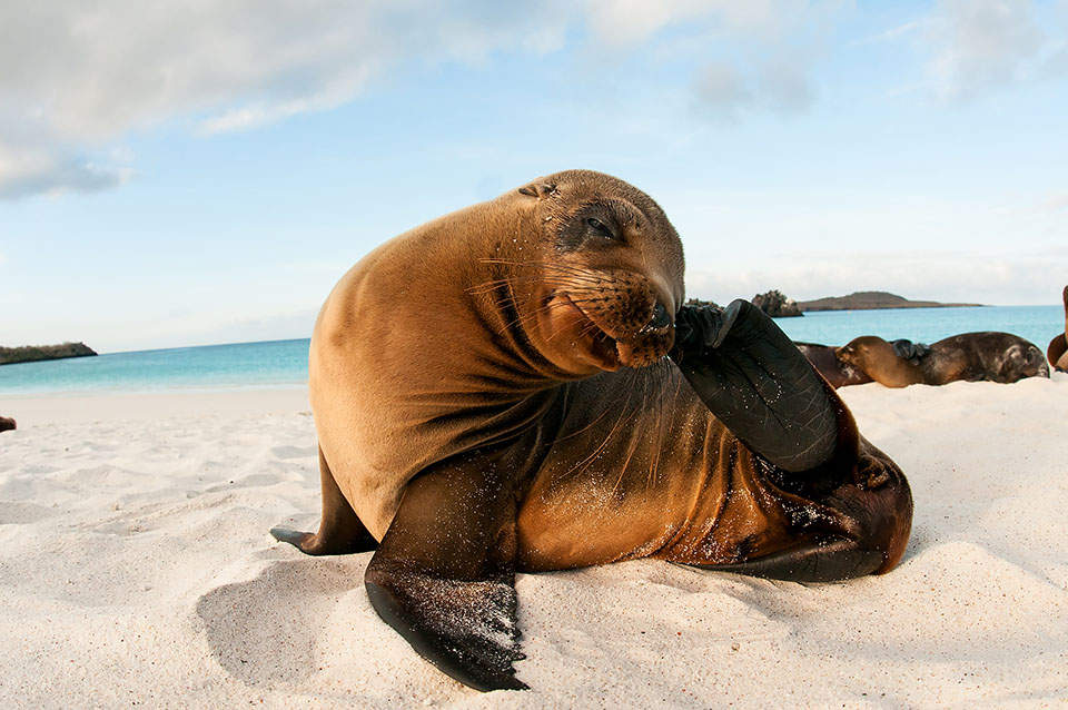 Sea lion at the shore in Galapagos.