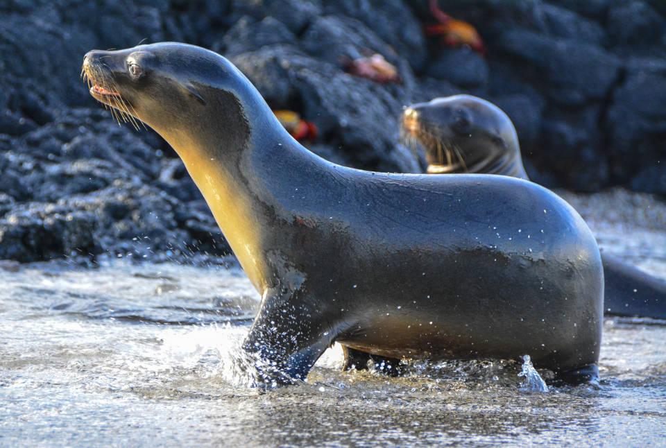 Sea lion pup nurseries Galapagos