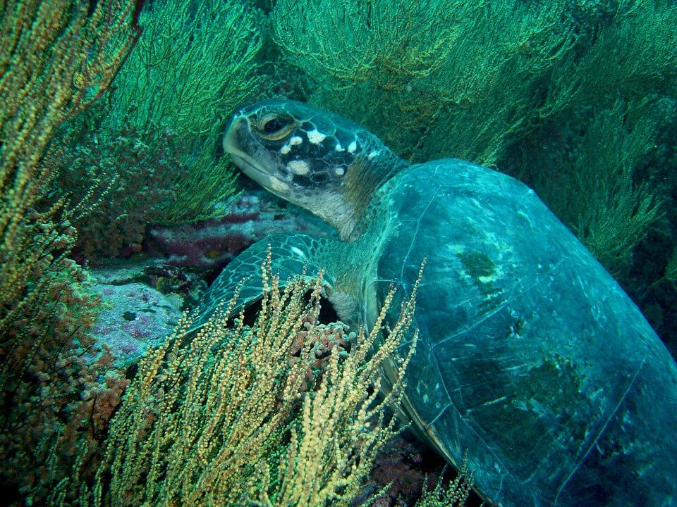 Galapagos sea turtle.