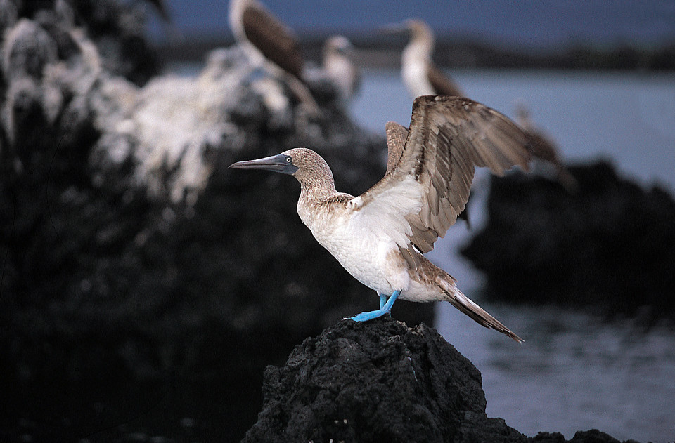 Blue-footed booby caption.