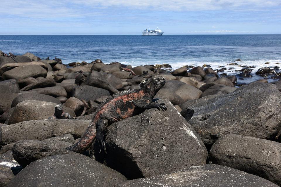 Marine iguana in Galapagos.