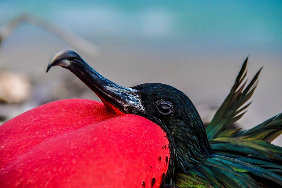 Magnificent frigatebird galapagos.