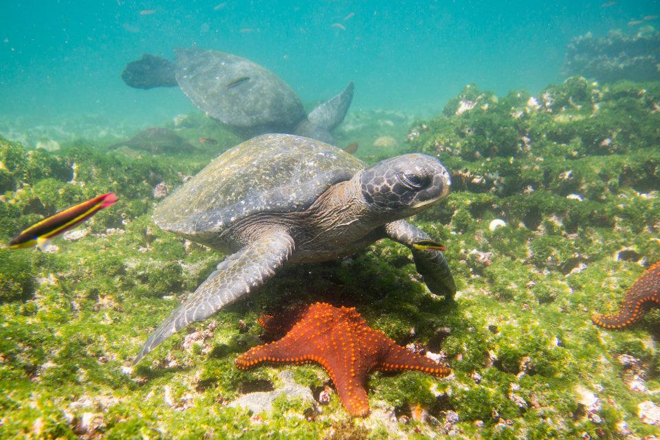 Marine tortoise in Galapagos.