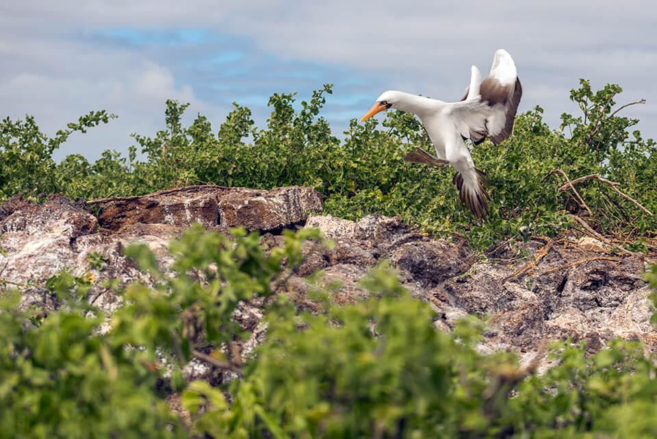 Nazca booby Darwin Bay Genovesa Island.