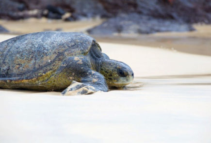 A sea turtle on the beach of the Galapagos Islands.