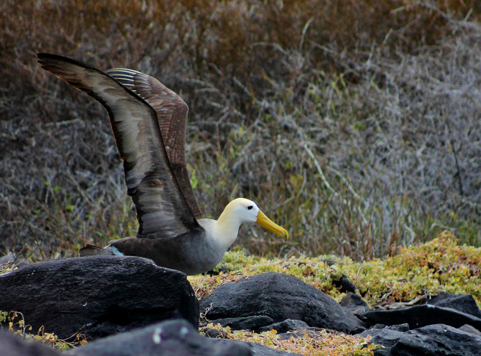 galapagos albatross trying to fly