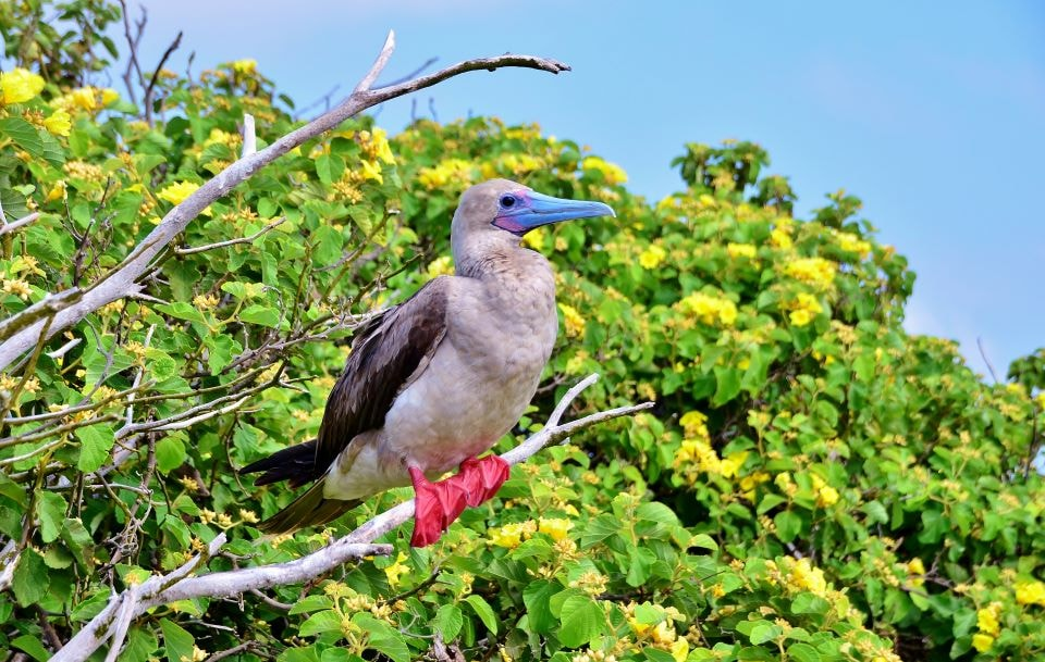 Red-footed booby perched on a brunch.