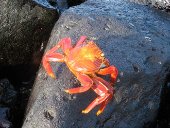 Sally Lightfoot crab sunbathing