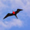 Frigatebird flying in Galapagos