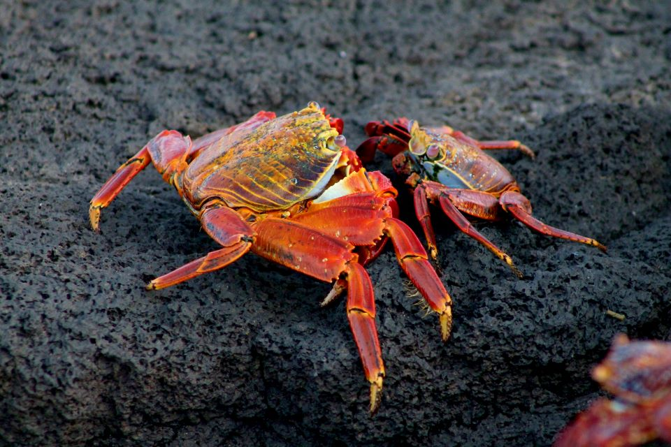 Sally Lightfoot crabs on the rocks.
