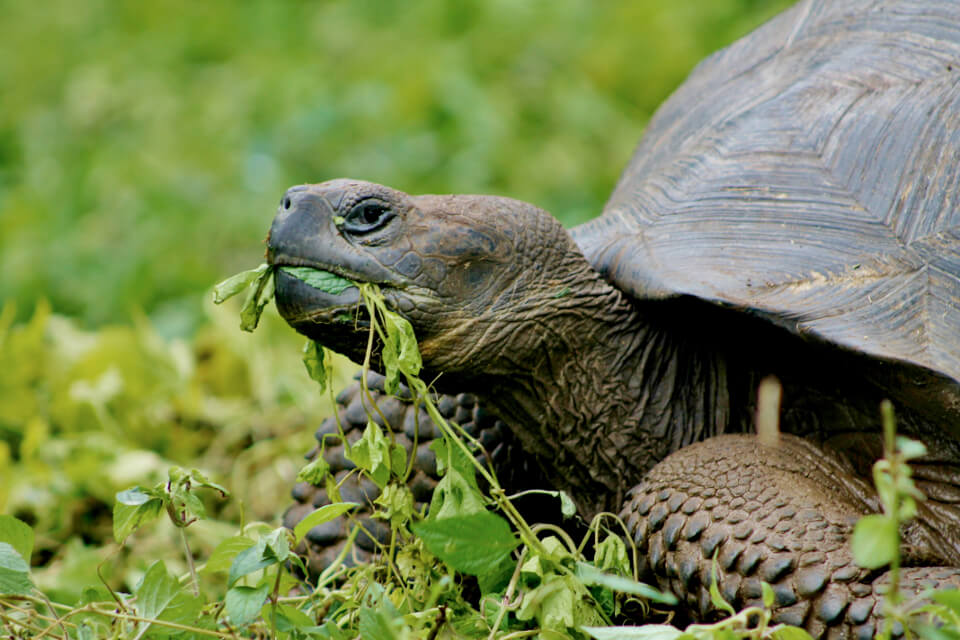 Giant tortoirse from Galapagos.