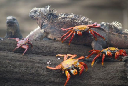 A group of sally lightfoot crabs with an iguana in the Galapagos Islands.