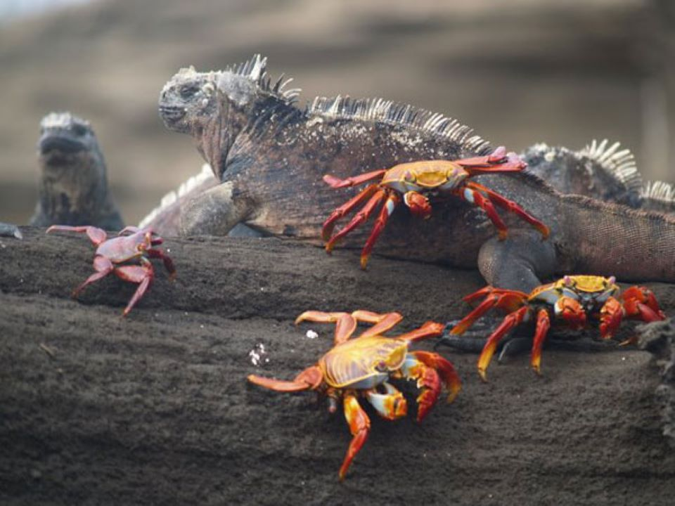 Group of sally lightfoot crabs with an iguana.