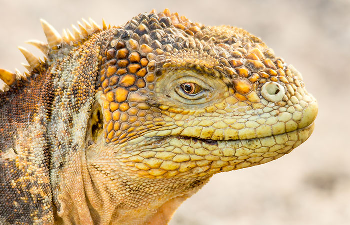Best time to go to Galapagos: Land Iguana