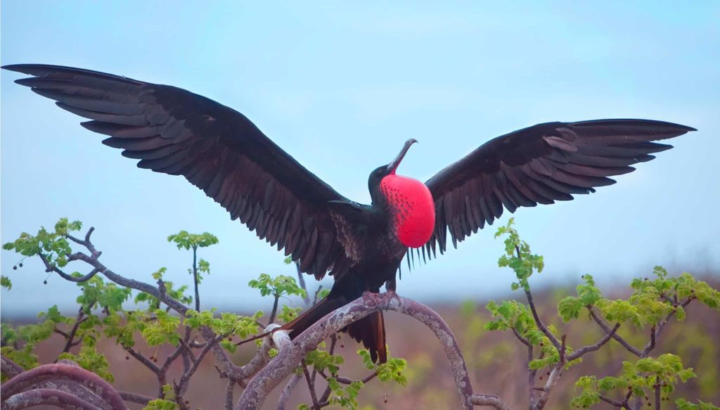 Magnificent Frigatebird in Galapagos Islands