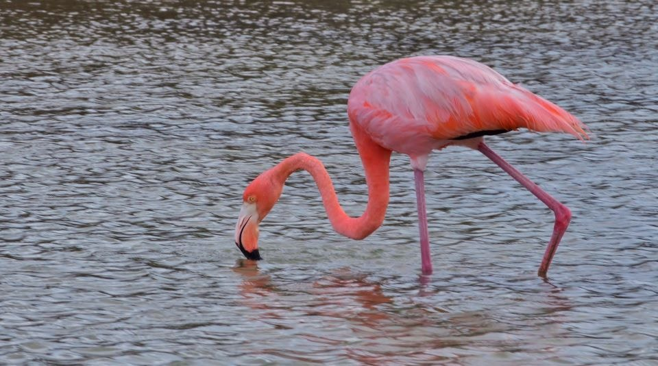 American flamingo in Las Bachas beach in the Galapagos Islands.