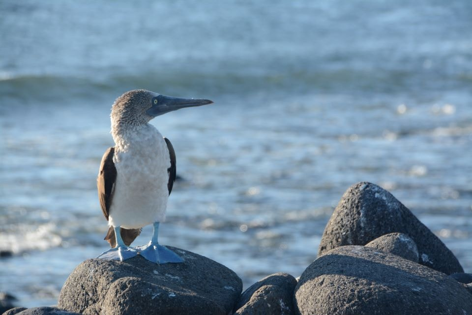 A blue-footed booby spotted by the shores in North Seymour Island.