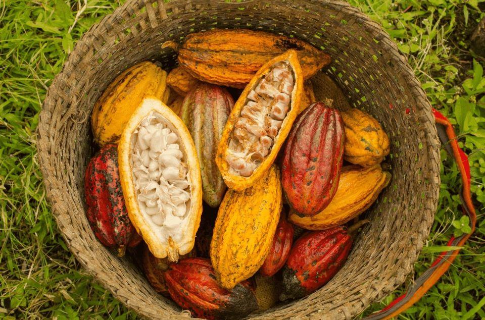 Ecuadorian cacao fruit.
