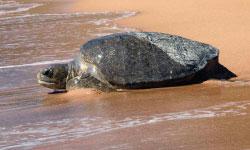 Black turtle.
