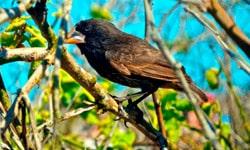 Darwin Finch.
