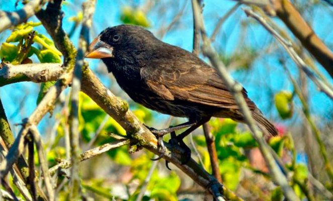 Galapagos Darwin Finch.