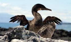 Flightless cormorant.