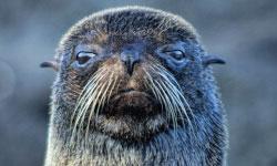 Fur Sea Lion.