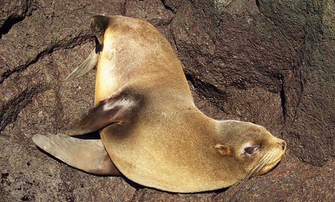 Galapagos fur seal.