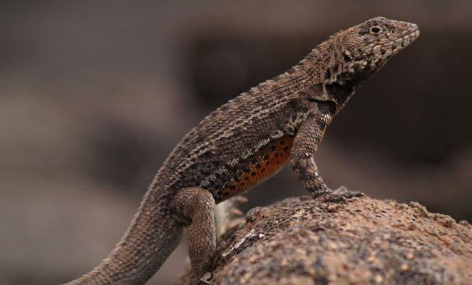 Galapagos Island lizard.