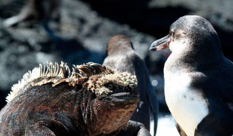 Marine iguana and Galapagos Penguin.