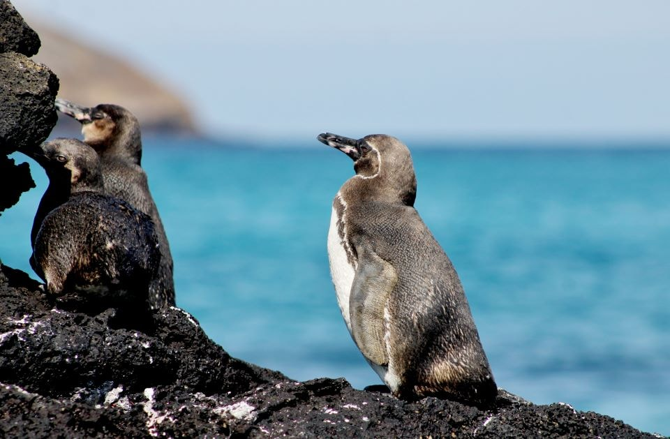 Galapagos penguins by the shores.