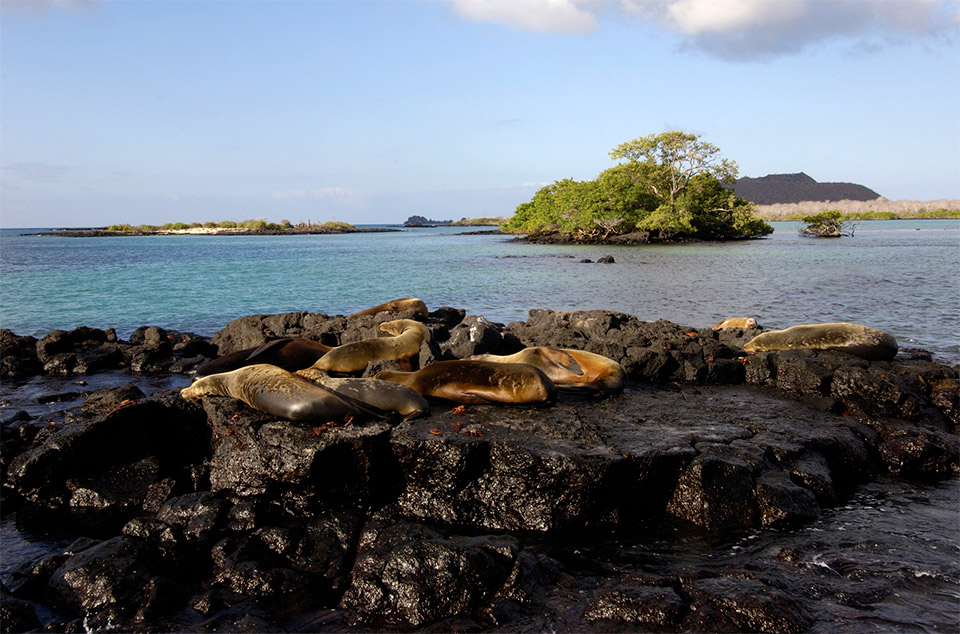 Galapagos sea lions resting by the shores.