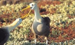 Waved Albatross.