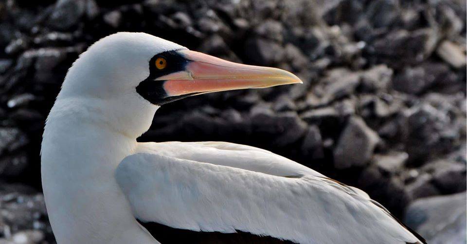 Nazca booby in the Galapagos Islands.