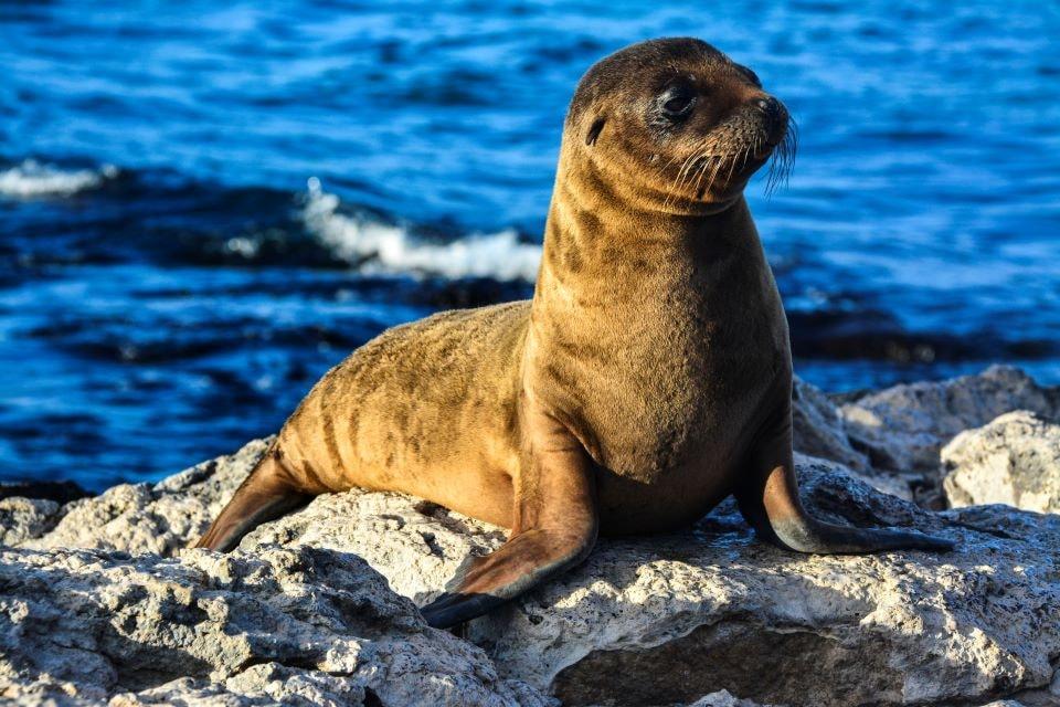 Santa Cruzz II, eastern islands itinerary encounter with Galapagos fur seal.