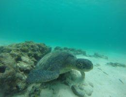 Sea turttle in Galapagos.