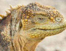 Santa Fe Land iguana.