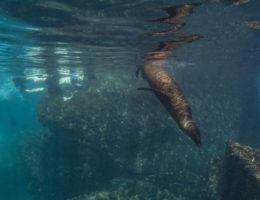 Galapagos se lion.