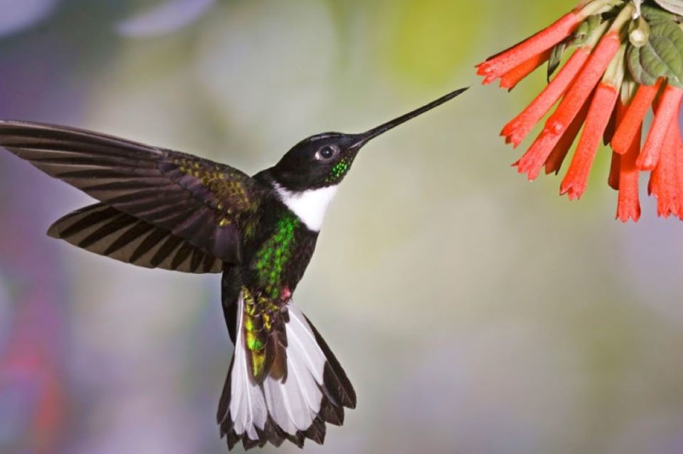 Hummingbird in Ecuador.