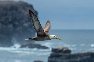 Albatross flies over Galapagos