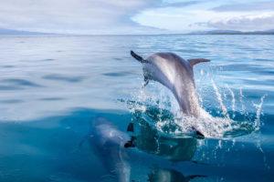 Dolphin breaks water line in Urbina Bay in hte Galapagos Islands